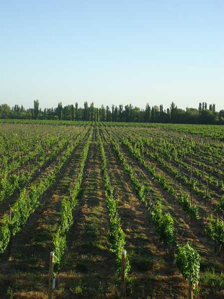 Immobilien Argentinien: 2ha privates Wein Grundstueck in Mendoza Argentinien US$ 96,000 (Finanzierung möglich!) Wine Estate #2